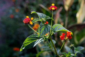 Tropische Kleurrijke Rode en gele Bloemen in het wild van John Ozguc