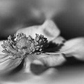 Anémone en noir et blanc sur Leo Langen