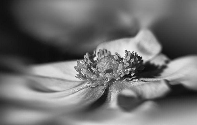 Anemone in Schwarz-Weiß von Leo Langen