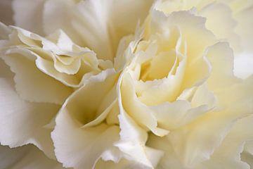 Weiße Nelke von Barbara Brolsma