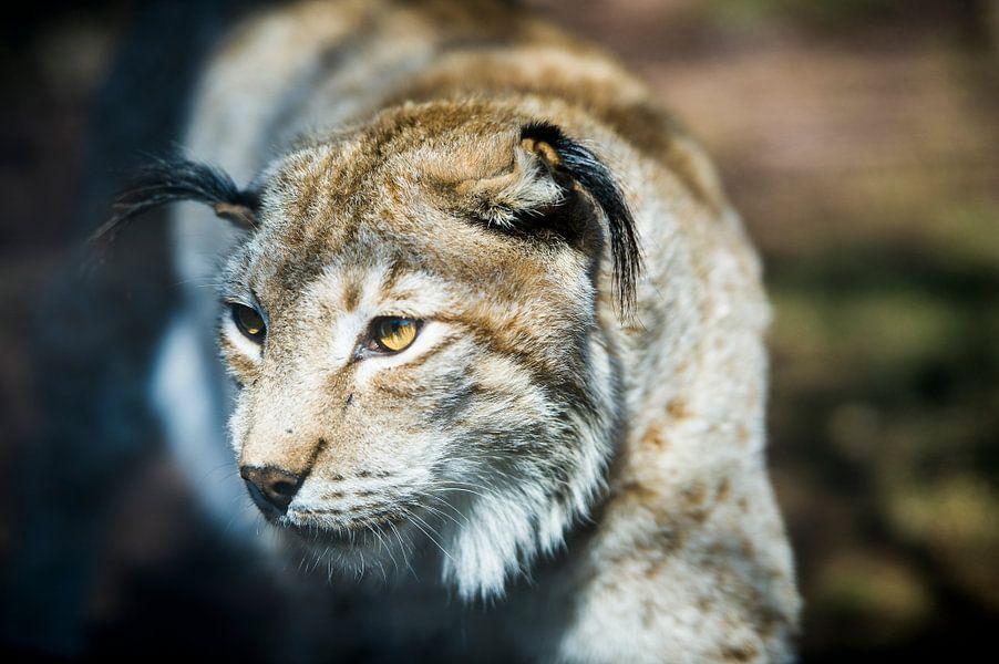 Lynx van Photography by Karim