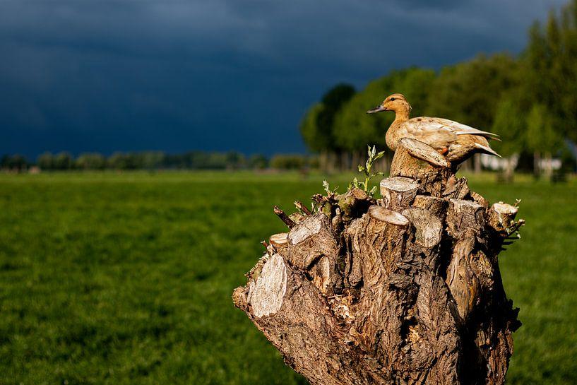 Wildente in einem Baum von Nynke Altenburg