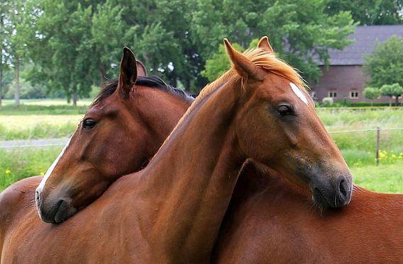 Twee paarden liefdevol omstrengeld.