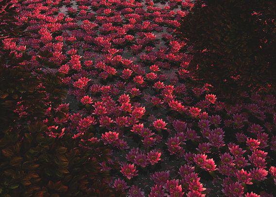 Waterlelies in de schaduw