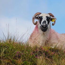 Ierland - vrouwelijke schapen van Meleah Fotografie