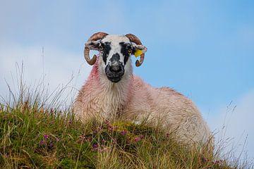 Irland - Frau Schaf von Meleah Fotografie