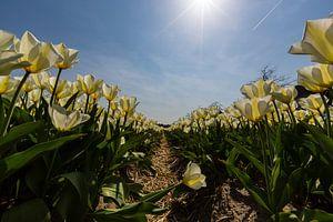 Bollenveld - Gele Tulpen van