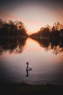 Zwaan tijdens zonsondergang van LUDWIGSTREET