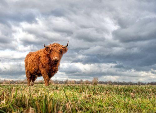 Schotse hooglander, dreigend noodweer van