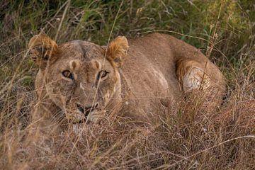 Leeuwin in Ol Pejeta Kenia van
