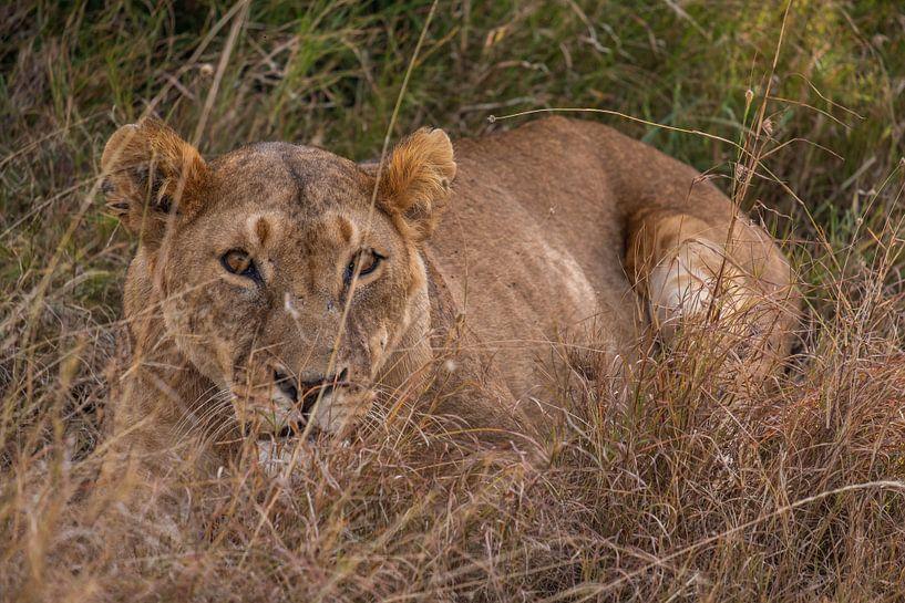 Leeuwin in Ol Pejeta Kenia sur Andy Troy