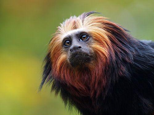 Leeuwenkop aapje