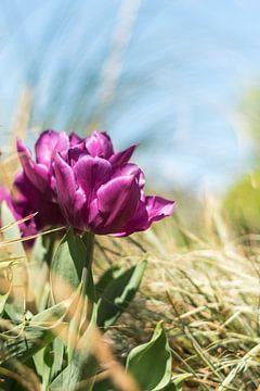 Paarse tulpen schitteren in de zon van As Janson