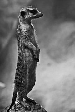 niedliches erdmännchen worth column- Erdmännchen schaut aufmerksam in die Ferne - disziplinierter Au von Michael Semenov