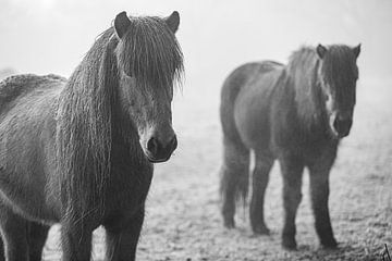 Vlieland Ponys von Jack Donker