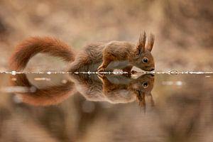 eekhoorn met spiegelbeeld van