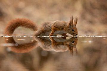 eekhoorn met spiegelbeeld van gea strucks