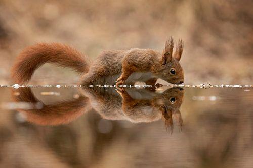 eekhoorn met spiegelbeeld von gea strucks