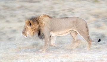 Löwe in Bewegung von Jos van Bommel