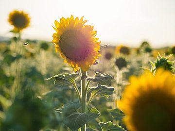 Sonnenblume mit fliegenden Bienen von Art By Dominic
