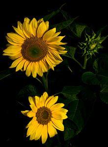 Zonnebloemen van schylge foto