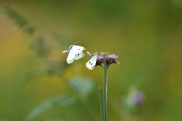 Schmetterling Liebe von A. Bles