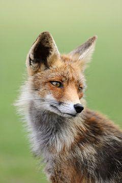 Rode vos (Vulpes vulpes) van wunderbare Erde