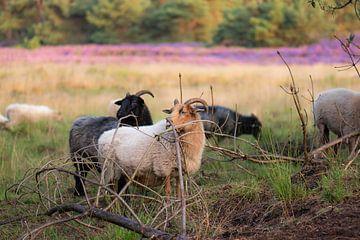 schapen op de heide van Tania Perneel