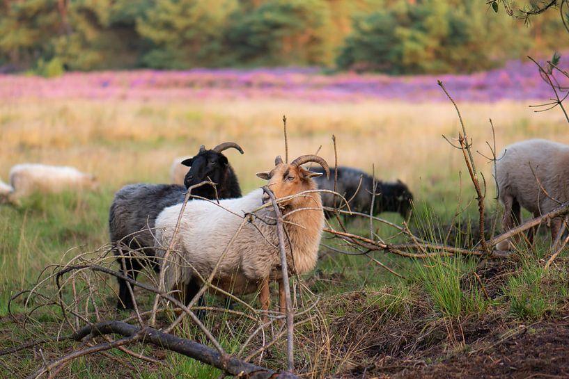 Schafe auf der Heide von Tania Perneel