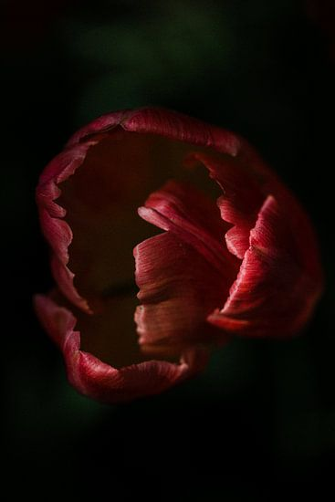 contrastrijke foto van een tulp