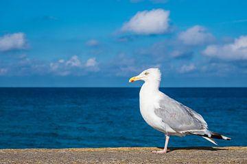 Sea gull on the Baltic Sea coast in Warnemuende, Germany van Rico Ködder