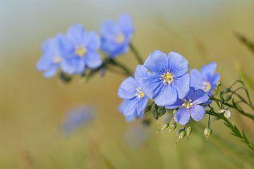Blossoms of Austrian Flax ( Linum austriacum ) van