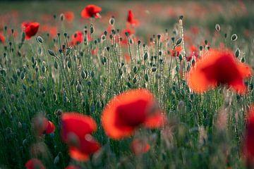 Mohnblumen im Licht der untergehenden Sonne #6 von Edwin Mooijaart