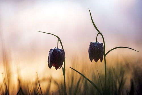 Wilde kievitsbloemen bij zonsopkomst van