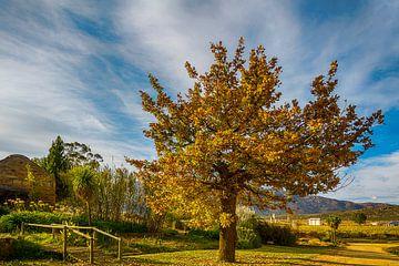 Herfstboom bij een wijngaard in Cederbergen, Zuid Afrika