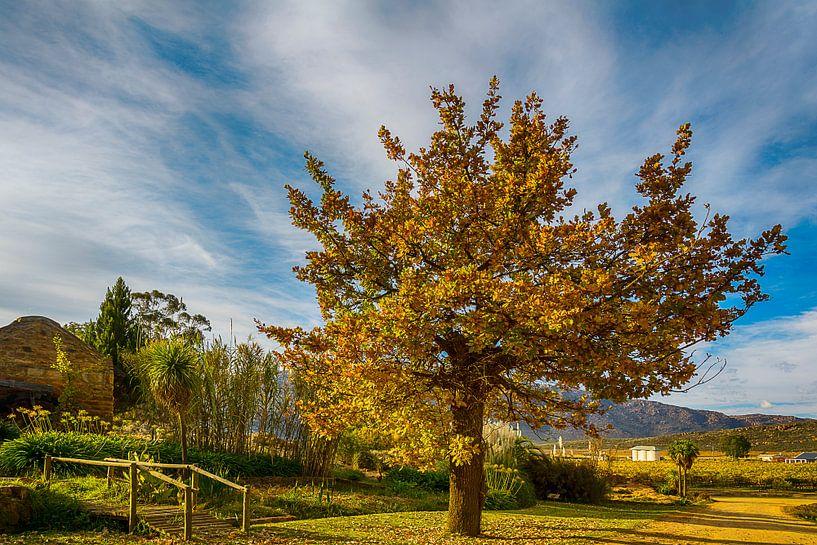 Herfstboom bij een wijngaard in Cederbergen, Zuid Afrika van Theo Molenaar