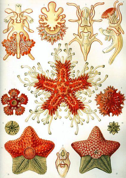 Asteridea, Ernst Haeckel von Het Archief