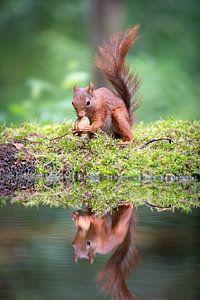 Portret van een eekhoorn met walnoot