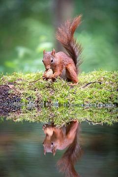 Ecureuil avec noyer et reflet dans l'eau sur Krijn van der Giessen