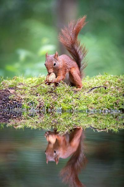 Portret van een eekhoorn met walnoot van Krijn van der Giessen