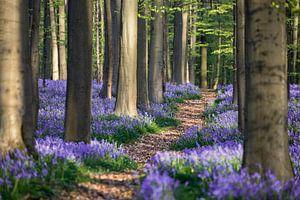 Pad door de hyacinten