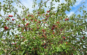 Appelboom van BVpix