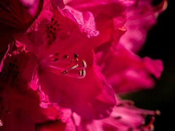 Rhododendron von Ingrid Aanen