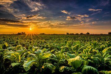 Tabakfeld in Süddeutschland von Hubertus Kahl