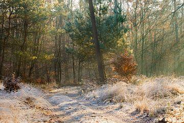 Zonnestralen in een bevroren bos op de Veluwe van