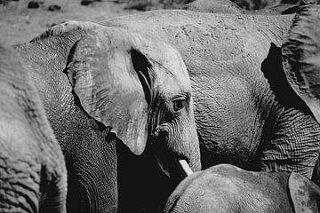 Elefant von Wilke Tiellemans