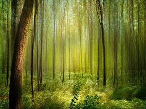Forêt d'Acacia au soleil
