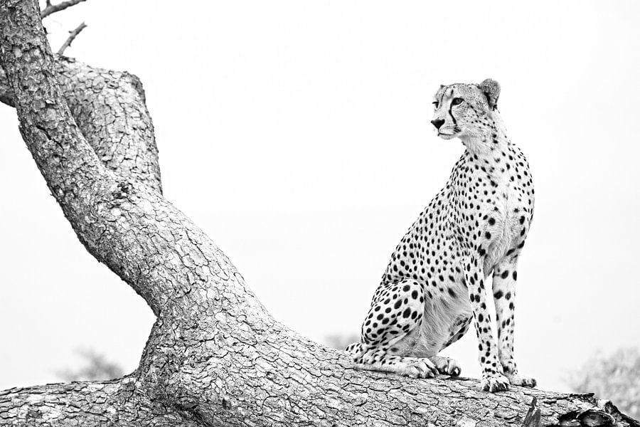 Jachtluipaard Koning poseert  van Lotje Hondius