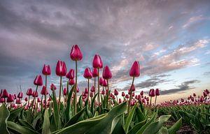 Dutch Tulips van