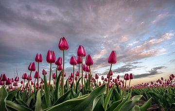 Dutch Tulips von Mario Calma